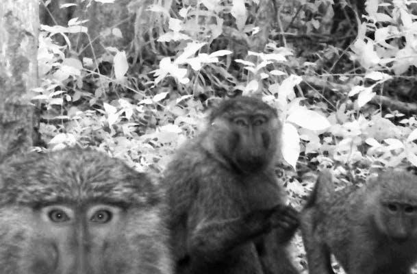V2108_1-baboons-1-1080x675